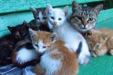 Cat Reproduc