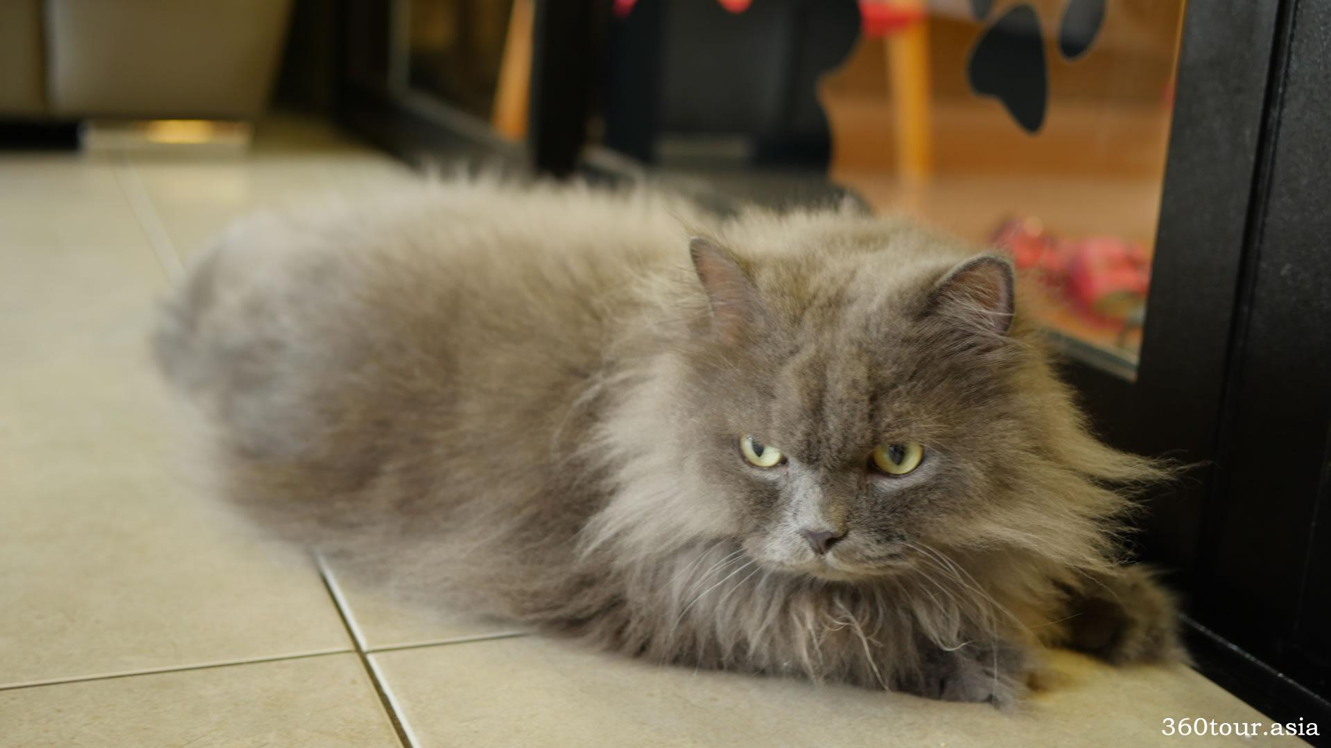 Himalayan Cat Eye Care Grooming