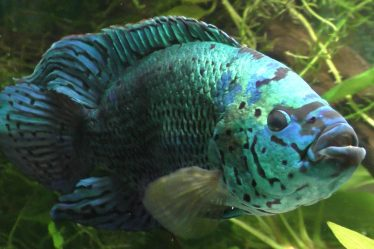 breeding jack dempsey fish