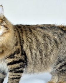 allergy free cats for your household