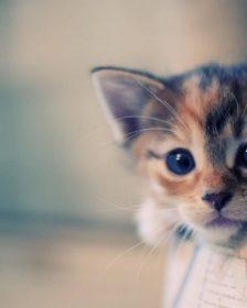 Buying a Kitten