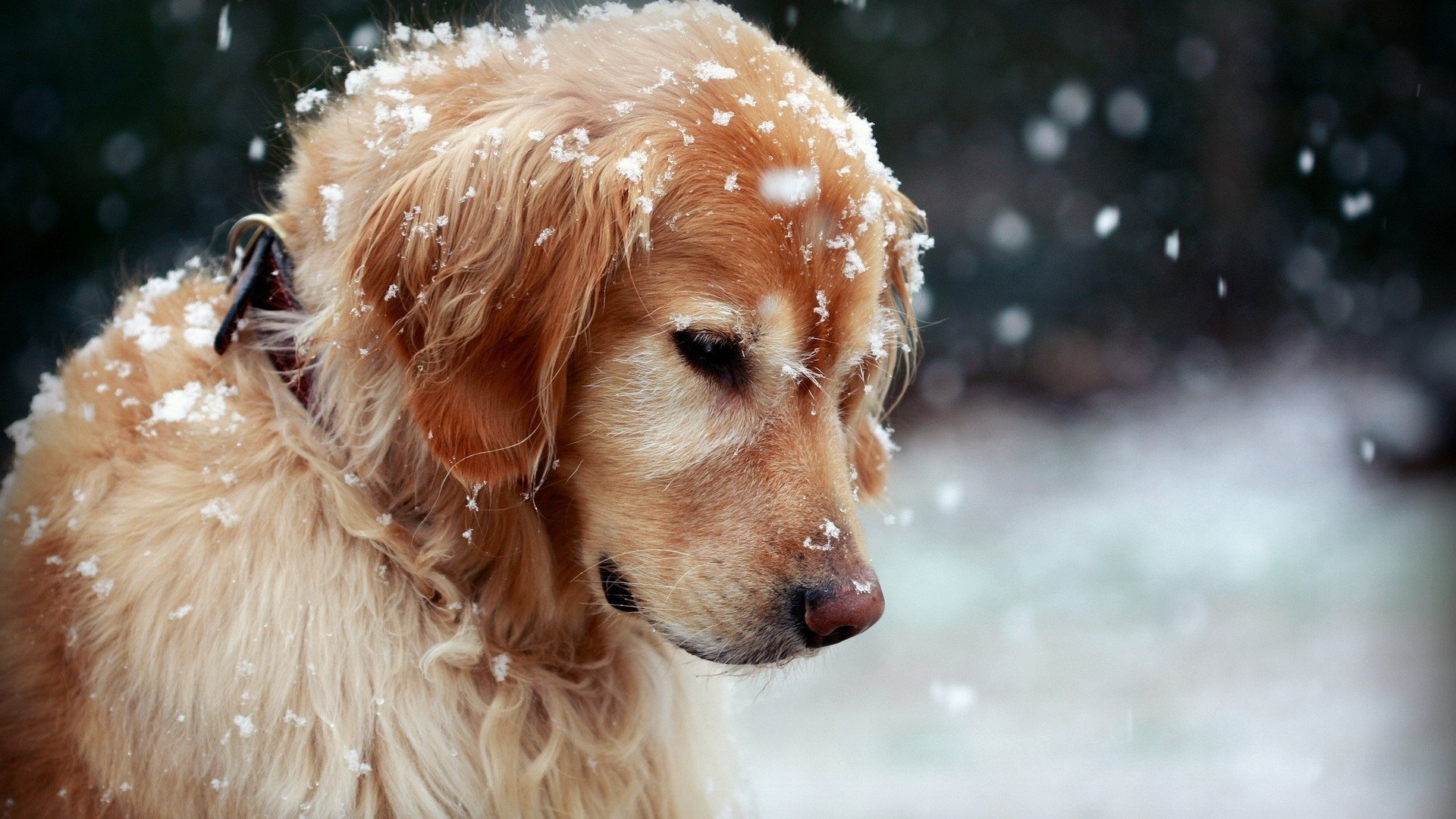 How Cold is Too Cold for Dogs? Winter Care Tips