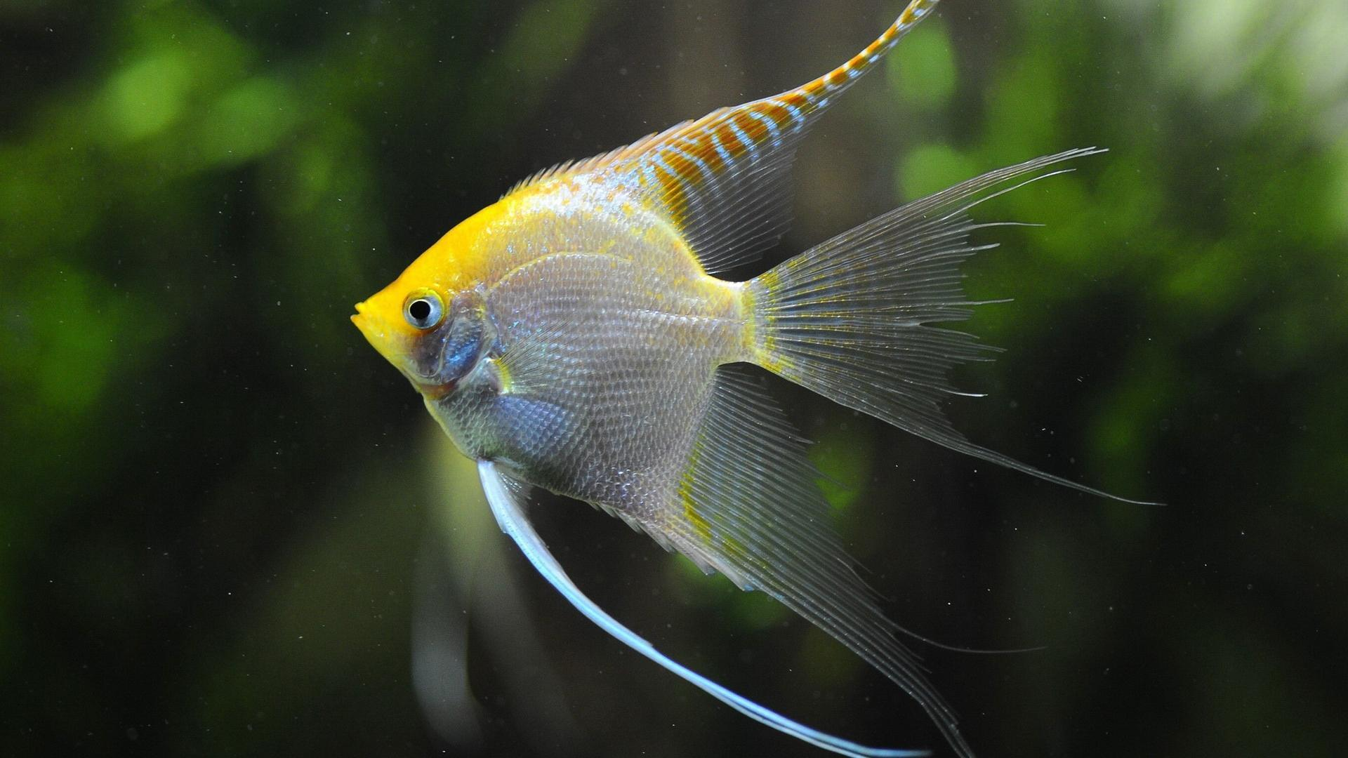 Angelfish Care for Fish Owners