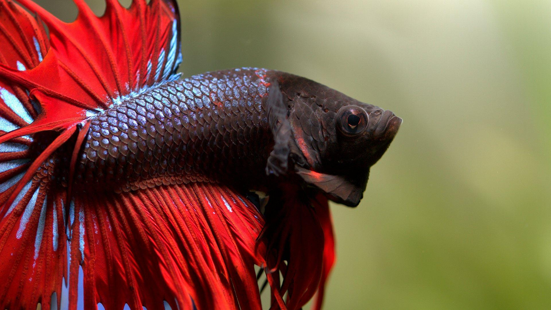 Betta Fish Care for New Owners