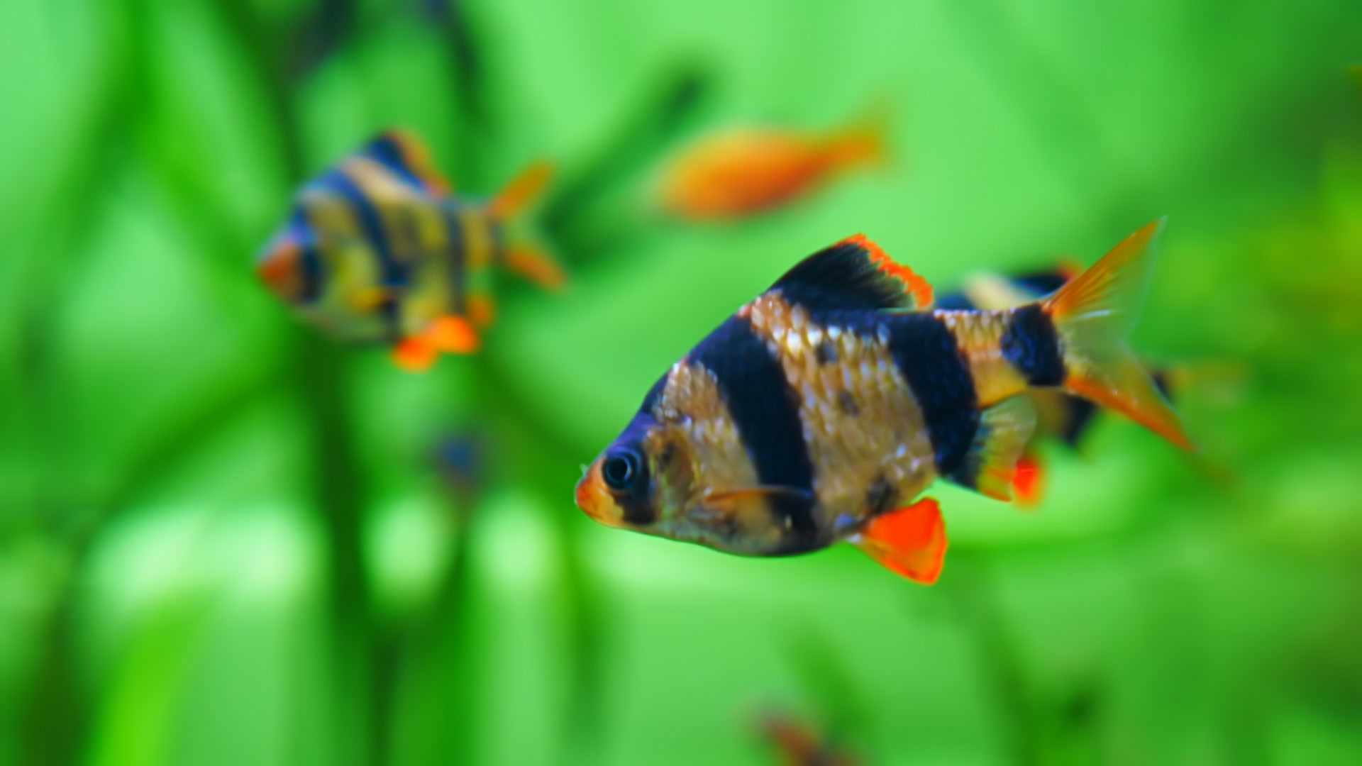 Fish for a Small Tank and How to Maintain Them