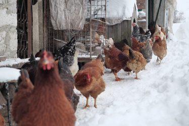 Prepare Your Chickens for Winter
