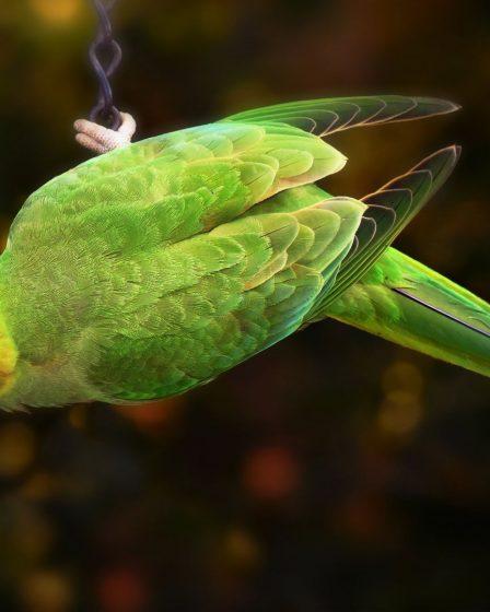 Parakeet Bird