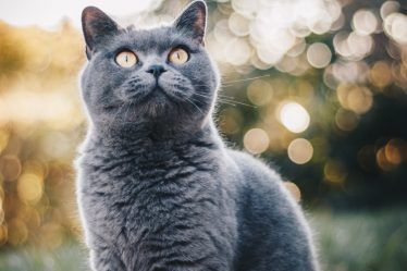 Healthiest Cat Breeds