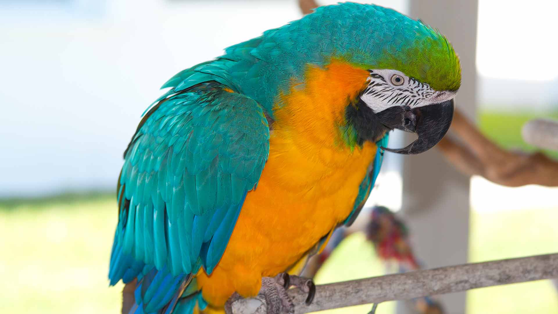 Pet Parrot Facts to Know Before Getting One